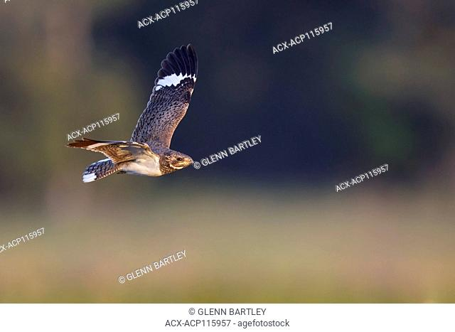Nacunda Nighthawk (Podager nacunda) flying in the Pantanal region of Brazil