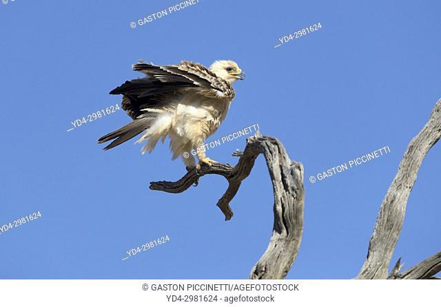Tawny Eagle (Aquila Rapax), Kalahari desert, Kgalagadi Transfrontier Park, South Africa