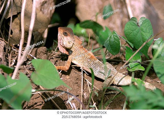Common Garden Lizard or Bloodsucker, Calotes versicolor, Sinhagad Valley, Western Ghats, Maharashtra, India