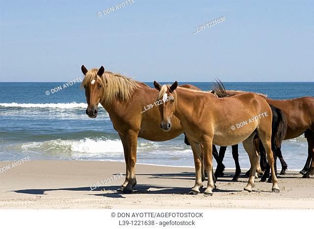 Wild horses that roam the beaches of Carolla, NC, USA