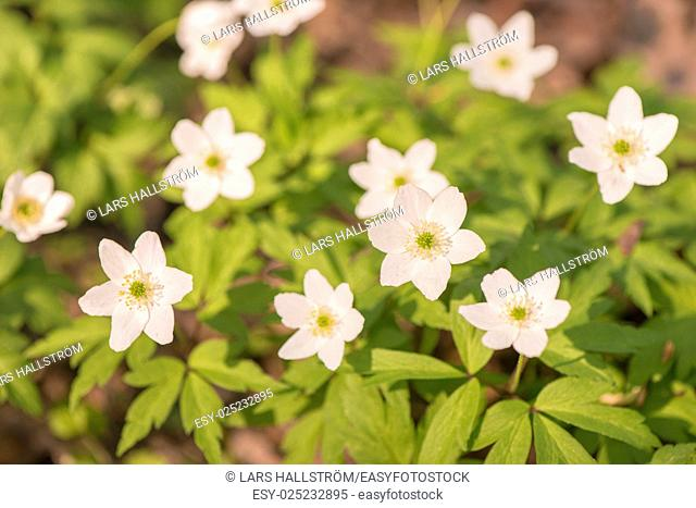 Wood anemones in forest, white springtime flowers. Close-up of nature detail. Concept of new life, wonders of nature, growth and vitality