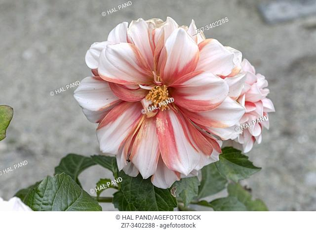 detail of white and orange dahlia flower, shot at Andenes, Norway