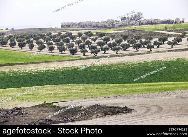 Green fields, olive grove and almond trees on the background. Pinto. Madrid. Spain. Europe