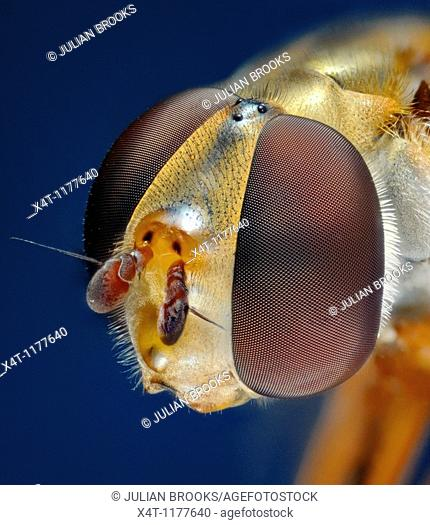 Extreme close up of the head of the syrphid or hover fly, Eupeodes luniger, showing the structure of the compound eyes