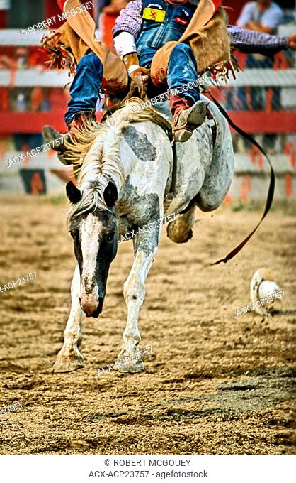 Bareback bronc rider and horse bucking at a western rodeo competition in Alberta Canada