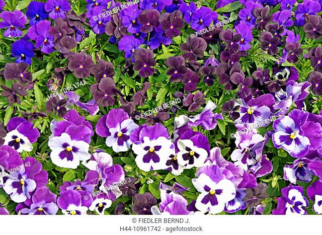 Europe, Italy, South Tirol, pansies, violas, place of interest, tourism, park, detail, flowers, gardens, plants