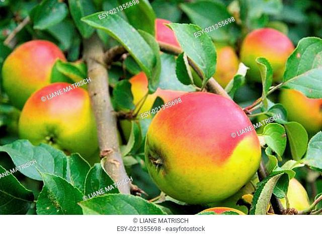 Apfel am Baum - apple on tree 118