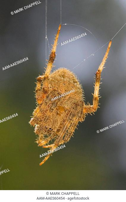 orb-web spider (Neoscona crucifera), Riverside County, California, USA