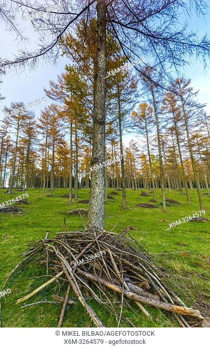Larch tree (Larix sp. ) forest. Gorbea Natural Park. Bizkaia, Basque Country, Spain, Europe