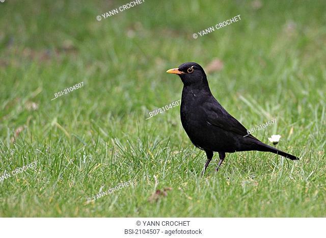 Eurasian blackbird Eurasian blackbird Turdus merula, picture taken in Picardy, France. Turdus merula  Eurasian blackbird  Blackbird  Muscicapid  Passerine  Bird