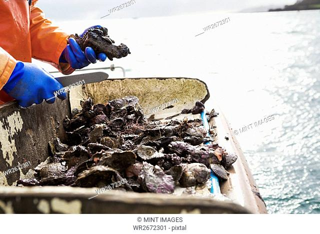 A fisherman working on a boat deck, sorting out oysters and other shellfish. Traditional sustainable oyster fishing on the River Fal