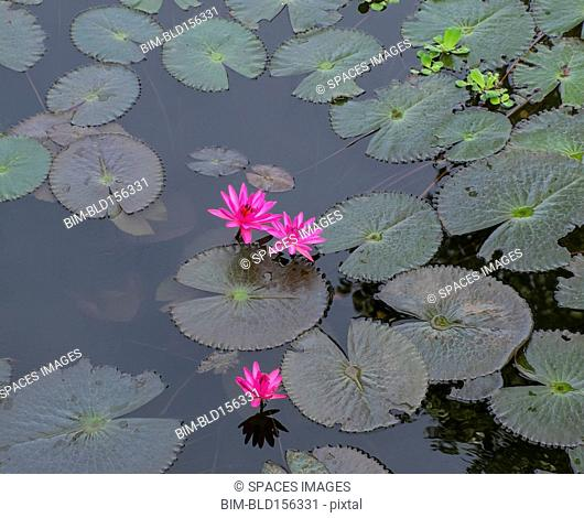 High angle view of flowers and lily pads on still pond