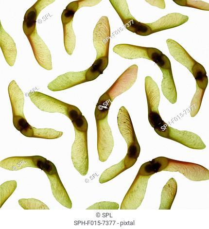 Sycamore (Acer pseudoplatanus) seeds, studio shot