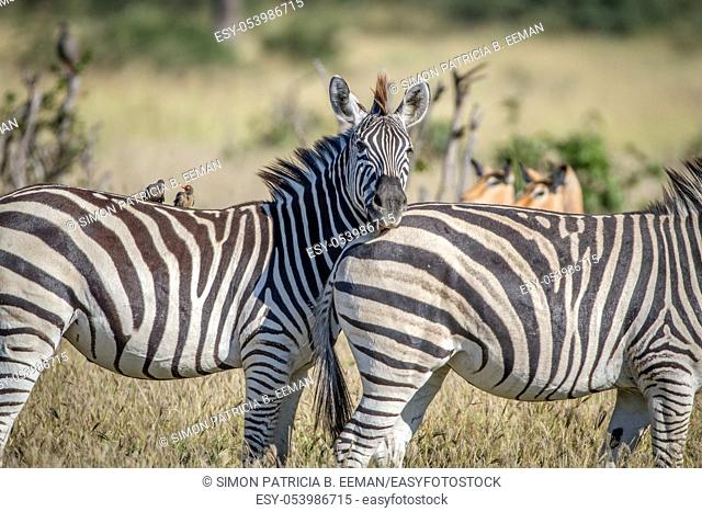 Zebra starring at the camera in the Chobe National Park, Botswana