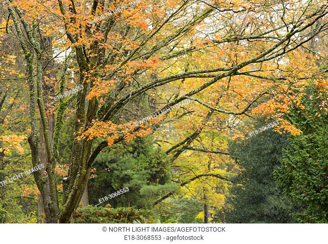 USA, WA, Seattle. Volunteer Park. Fall colors on the deciduous trees