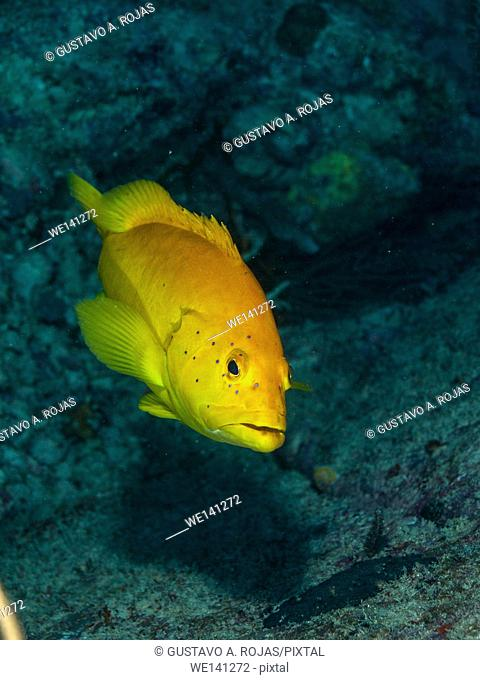 Coney Grouper, Cephalopholis fulva, Los Roques, Venezuela phase coloration bright yellow with some blue spots