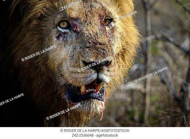 Lion (Panthera leo). Kruger National Park. Mpumalanga. South Africa
