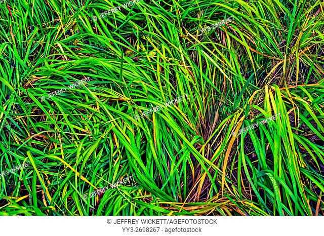 Sedge leaves weaving an abstract pattern in the Starrigavan river estuary near Sitka, Alaska, USA