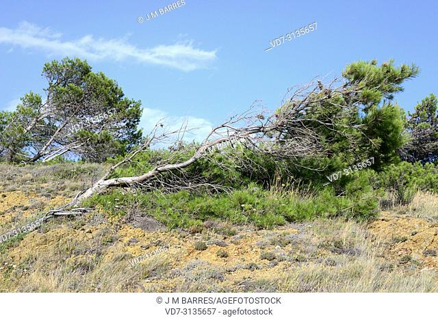 Aleppo pine (Pinus halepensis) is a coniferous tree native to Mediterranean Basin. It is specially abundant in eastern Spain. Wind adaptation