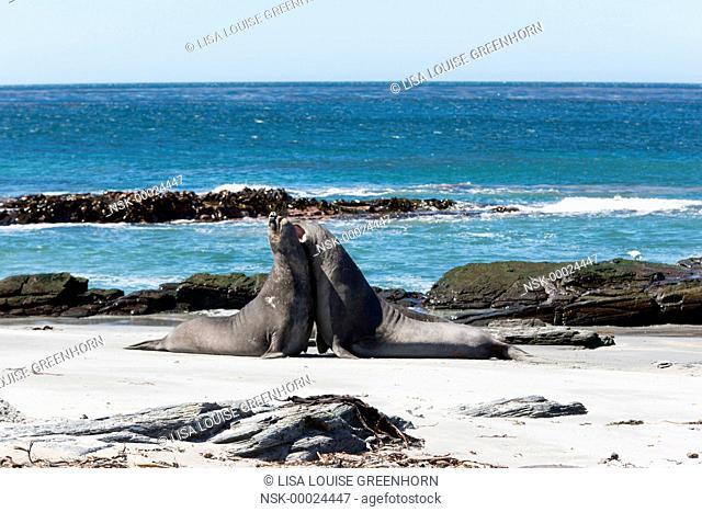 Elephant Seal (Mirounga leonina) young fighting for dominance on a beach, Falkland Islands, Sea Lion Island
