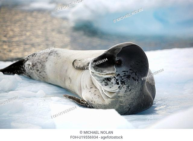An adult Leopard Seal Hydrurga leptonyx hauled out on Petermann Island on the Southwest side of the Antarctic Peninsula