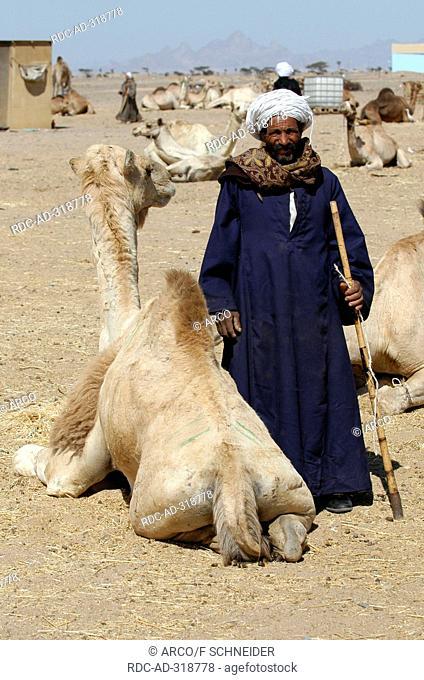 Bedouin, camel dealer with Dromedary, El Shalateen, Egypt / Camelus dromedarius / One-humped Camel