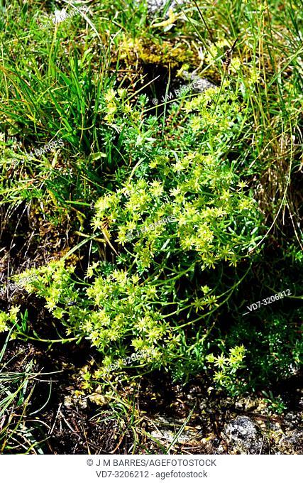 Yellow mountain saxifrage (Saxifraga aizoides) is a perennial herb native to Canada, USA, and Europe mountains. This photo was taken in Aiguestortes i Estany de...