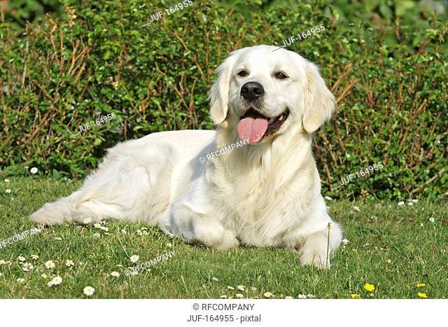 Golden Retriever dog - lying on meadow