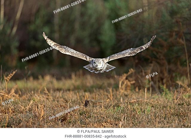 Great-Horned Owl (Bubo virginianus) adult, flying, November, controlled subject