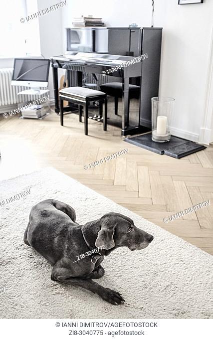 Pedigree dog -Weimaraner on white carpet