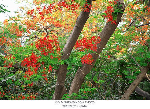 Green leaves and red flower of gul mohur tree delonix regia , Grant Road , Bombay Mumbai , Maharashtra , India