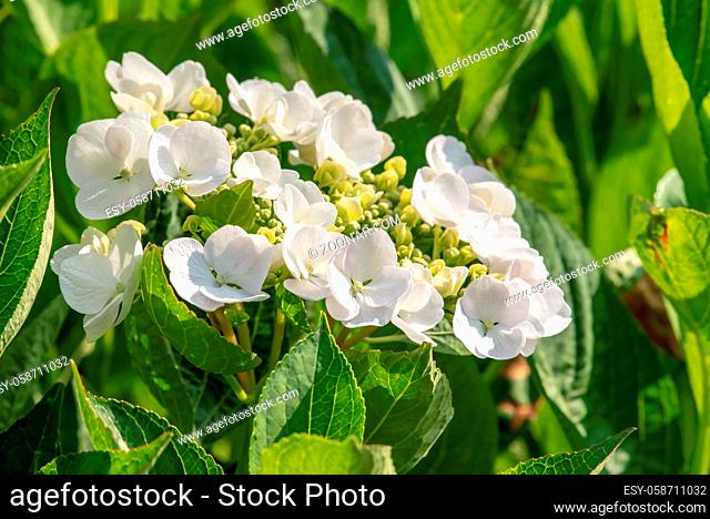 Hortensien Blüte im Frühsommer