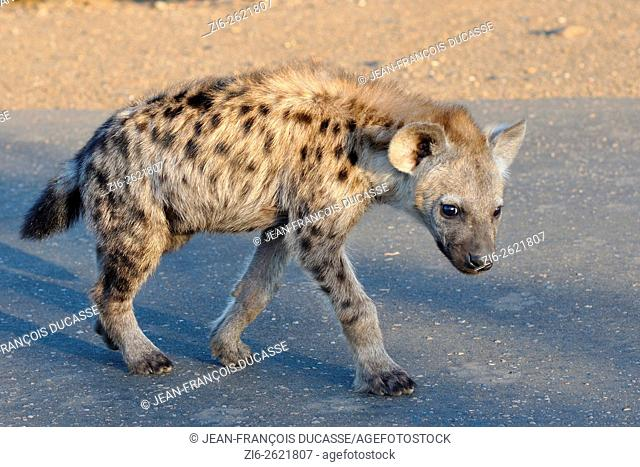 Spotted hyena or Laughing hyena (Crocuta crocuta) cub, walking on a tarred road, early morning, Kruger National Park, South Africa, Africa