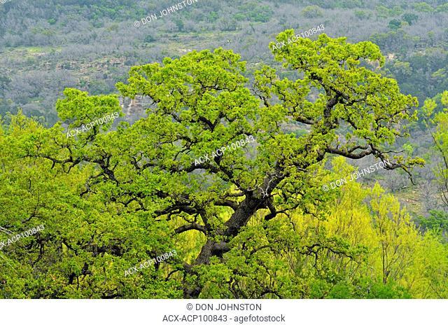 Spring oak tree, Willow City, Gillespie County, Texas, USA