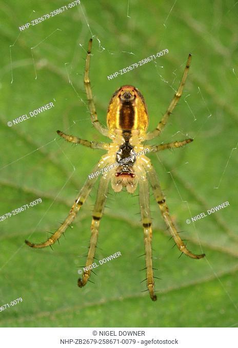 Close-up underside of a Lesser garden spider (Meta segmentata) hanging in its web in a woodand habitat in Norfolk late summer