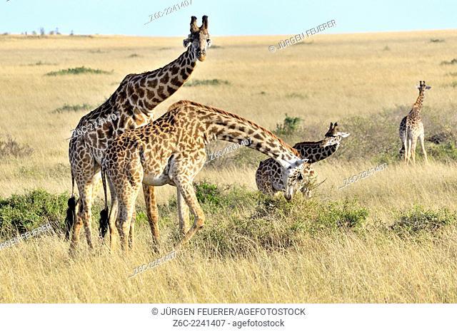 Giraffes, Giraffa camelopardalis, in the landscape of Masai Mara, Kenya