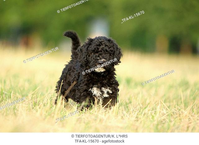Perro de Agua Espanol Puppy