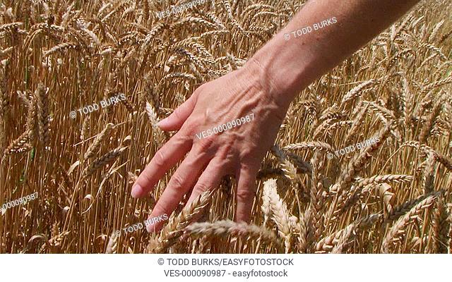Woman's hand running through wheat field, dolly shot