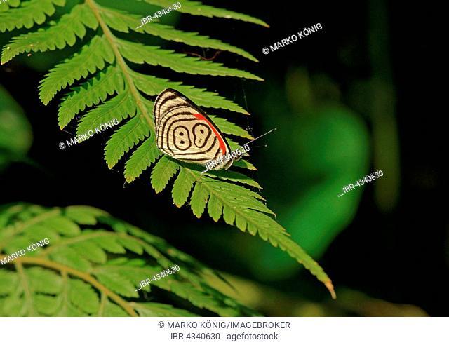 Nymphalidae (Nymphidae) Tropical Butterfly, Anna's eighty-eight (Diaethria anna), Iguazú National Park, Paraná, Brazil