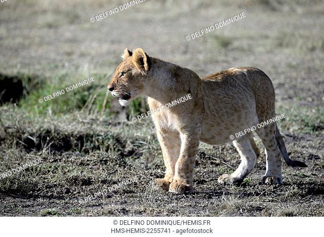 Kenya, Masai Mara Reserve, Lion cub is déplcaçant in Savannah