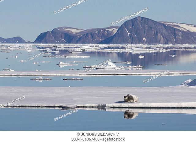 Bearded Seal (Erignathus barbatus). Adult resting on an ice floe, Svalbard