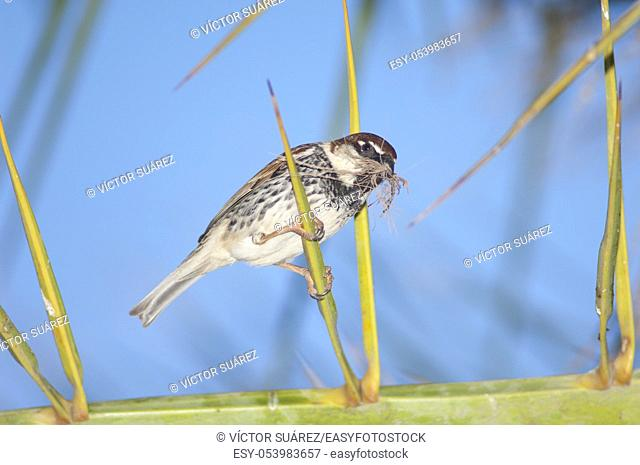 Spanish sparrow (Passer hispaniolensis). Male with nesting material. Tuineje. Fuerteventura. Canary Islands. Spain