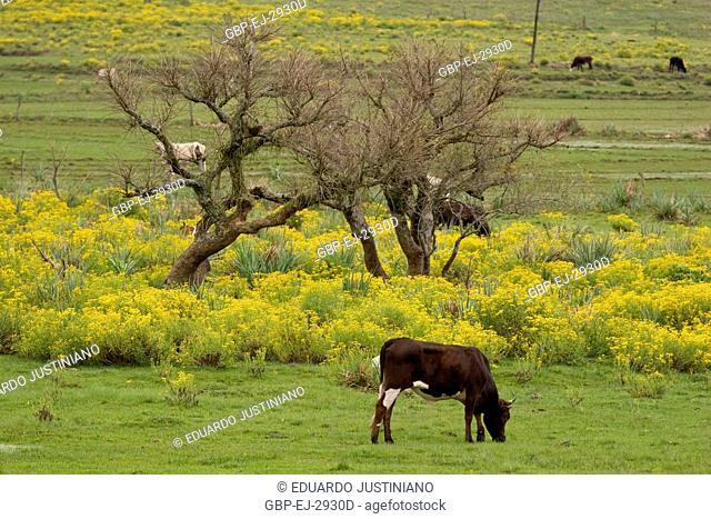 Area of Pasture, Cattle breeding (Bos taurus), Rio Grande do Sul, Brazil