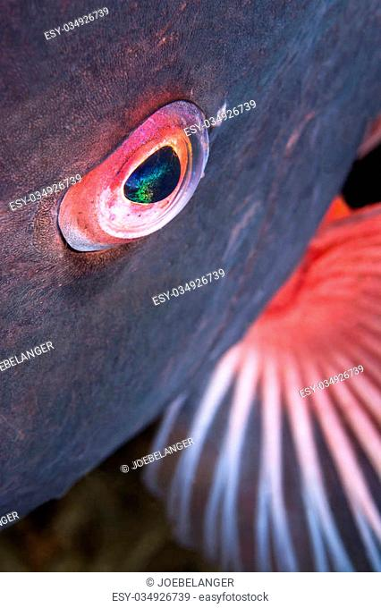 A close up of the eye of a sheepshead fish shows the detail and beauty of a wild aquatic animal