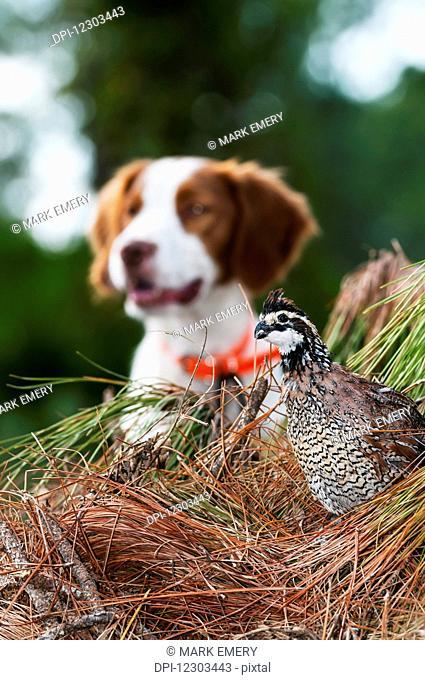 Bobwhite quail (Colinus virginianus) and Brittany spaniel; Gaitor, Florida, United States of America