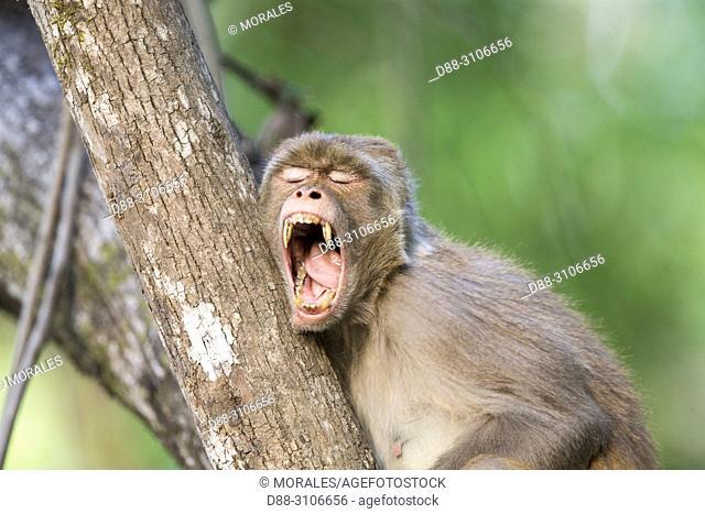 Asia, India, Uttarakhand, Jim Corbett National Park, Rhesus macaque (Macaca mulatta), adult resting in a tree