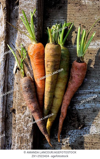 Variegated, multi-colored carrots, organic on wood background scattered with earth, shot at the golden hour