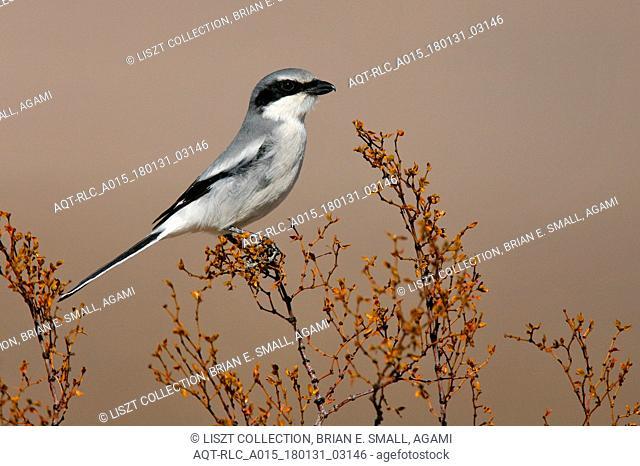 Lanius excubitor, Great Grey Shrike