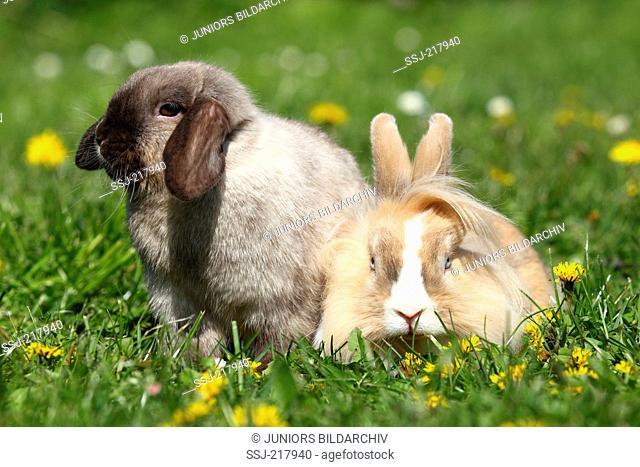 Lionhead rabbit and Dwarf Rabbit, Mini Lop on a flowering meadow. Germany