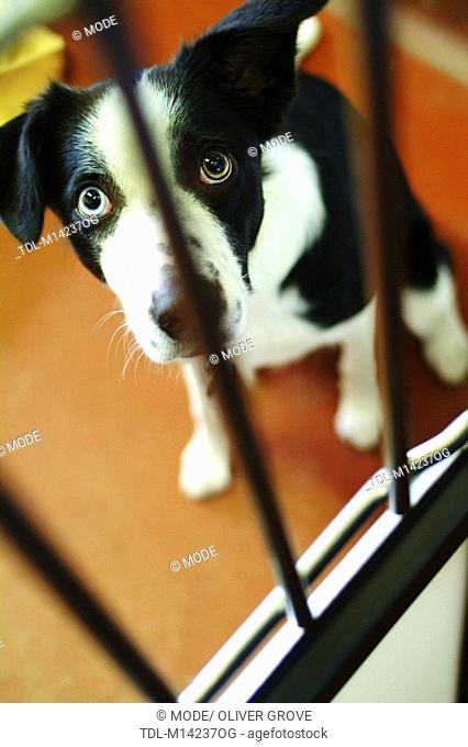 A dog peering through the bars of a kennel